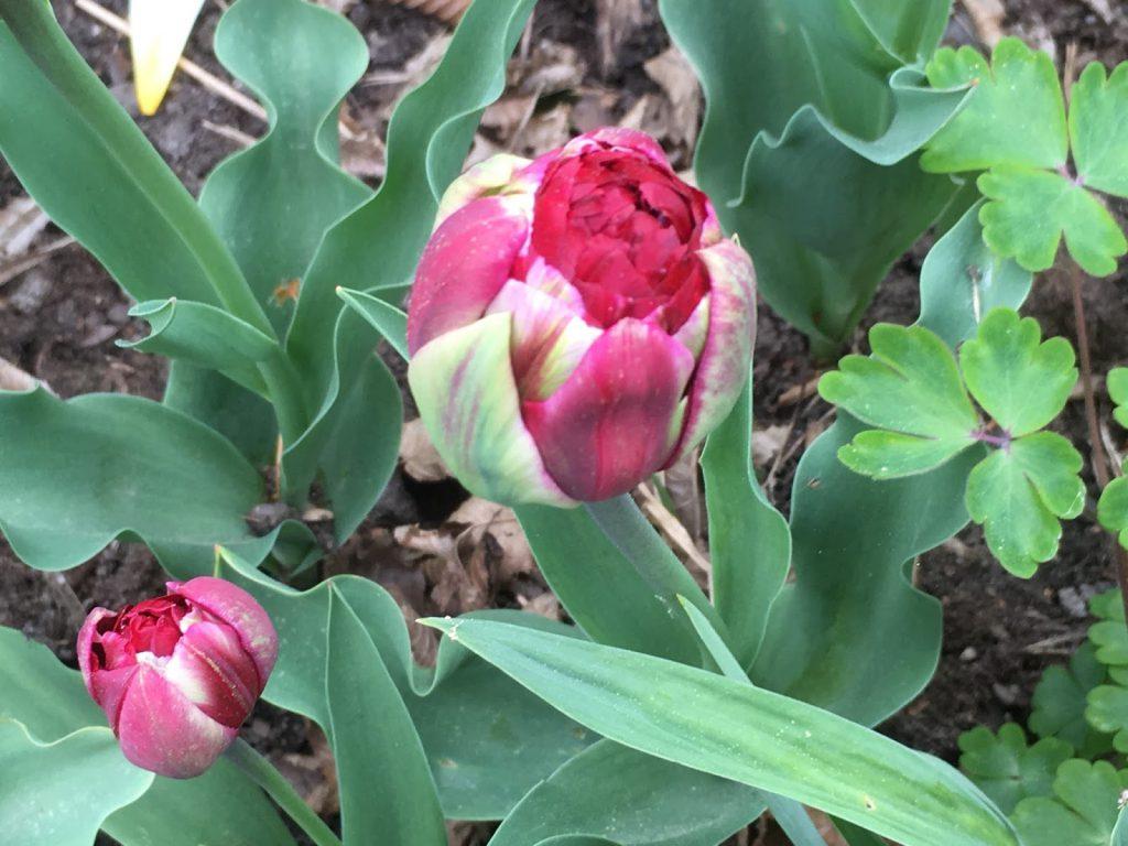 Tulipaner som ser ut som roser - i knopp