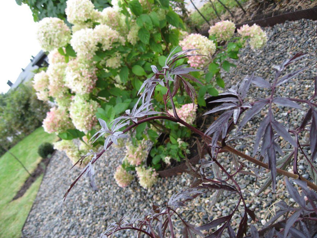 Svarthyll -  Sambucus,  et planteportrett og en teoppskrift - Svarthyll, Sambuscus på vei i sin årlige utfoldelse