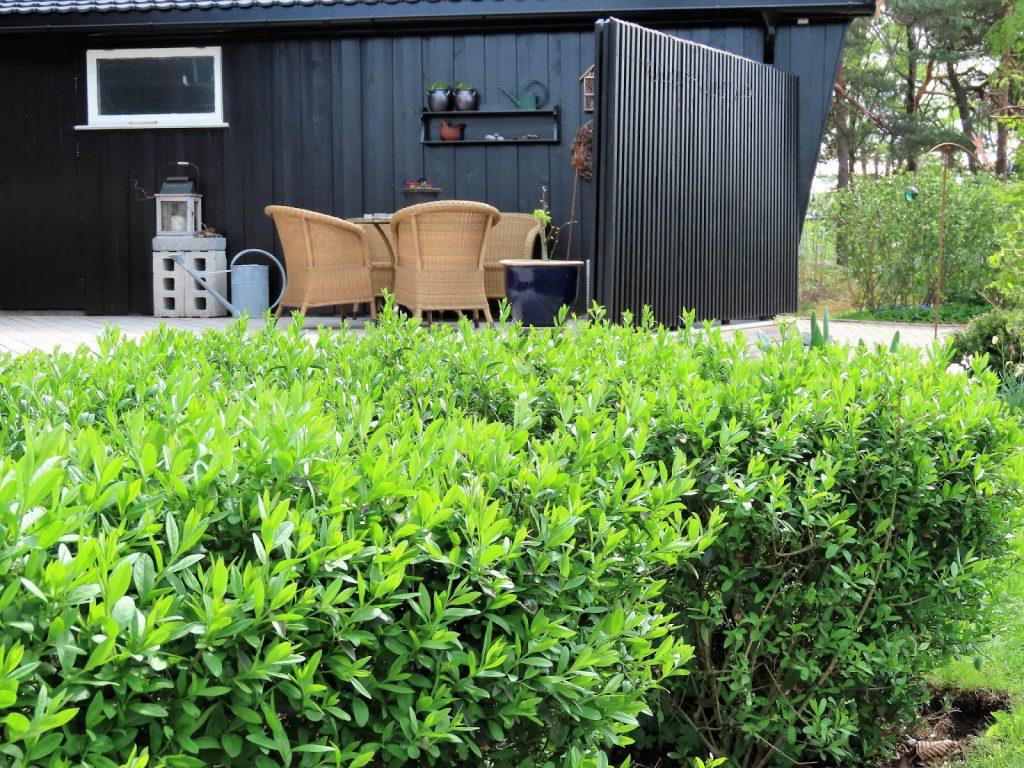 Kom mai, du skjønne milde  - Ligusterhekk i forkant av terrassen IMG_1262 (2)-min