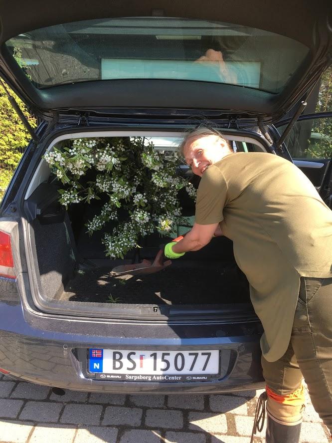 Når Herrepæren blir lagt i bakken av to damer - Anne Grete presser treet inn i bilen IMG_5855-min