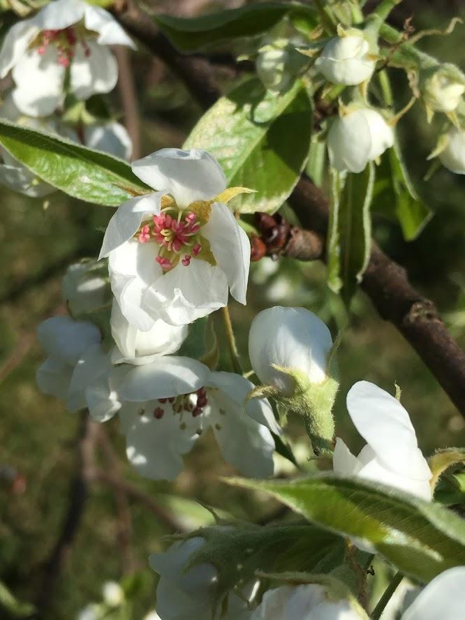 Når Herrepæren blir lagt i bakken av to damer - blomster på Herrepæretreeet IMG_5854-min