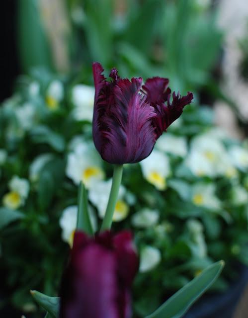 Idag har jeg gleden av å vise deg Marias drøm av en hage - Dyprød/svart tulipan fra Marias hage