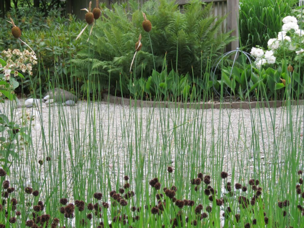 Nyt den hvite hagen - Planter fra et sumpområde/dam i my white garden, trädgårdsrundan, Helsingborg
