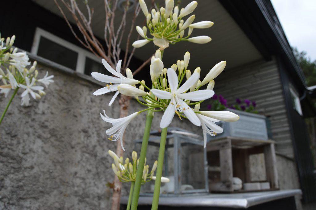 Hvite og blå Agapanthus stelles likt