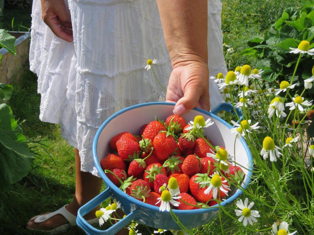 Jordbær fra egen pallekarm. Furulunden på besøk hos HuniHusgaarden