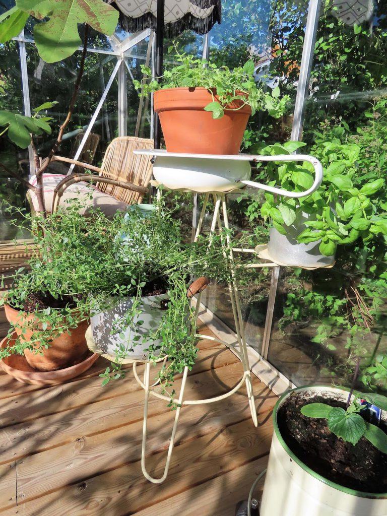 Lev landlig og fruktbart i en hage  - grønnsaker og urter i drivhuset  IMG_1844 (2)-min