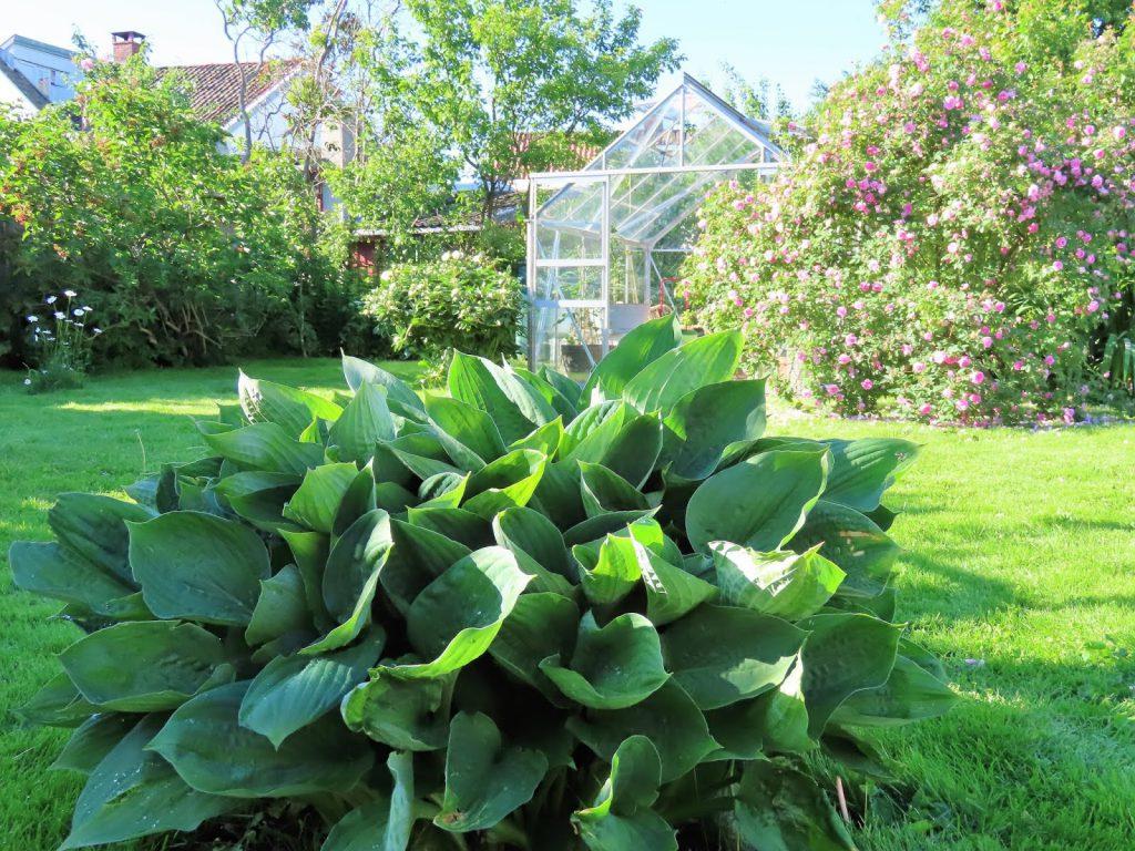 Lev landlig og fruktbart i en hage i Vaterland ved Gamlebyen - hosta IMG_1887 (2)-min