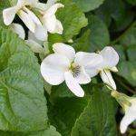 Tips til bunndekkere i hagen - hvit fiol
