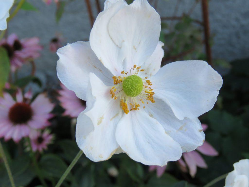 Hvit høstanemone