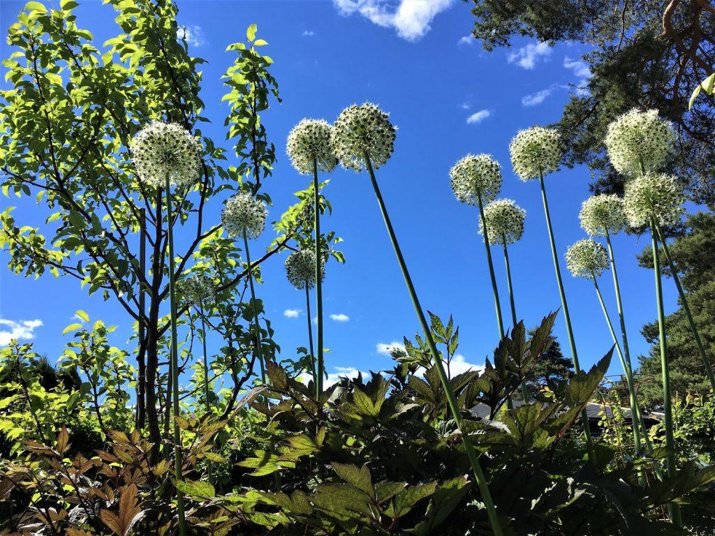 Rektangulært bed gjennom fire årstider - Allium mot skyfri himmel