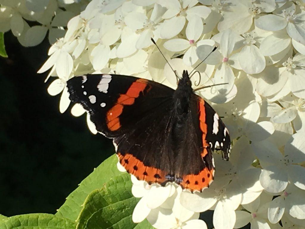 Lykken er å ha en sommerfuglbusk - sommerfugler liker Syrinhortenisia også