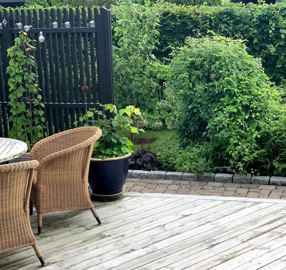 Den storvokste Klematis summersnow gjør seg godt sett fra terrassen IMG_1641-min