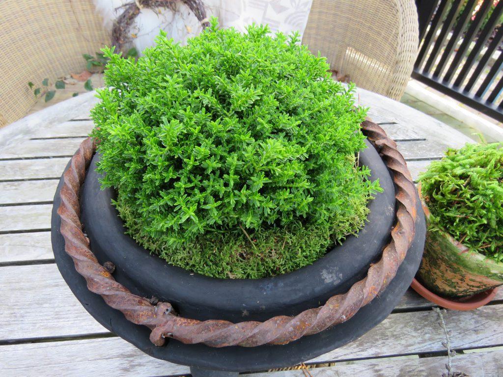 Tips til lettvint bruk av mose - rundt planter i krukkene