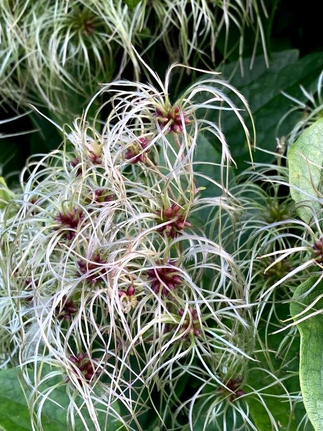 Klematis Summersnow  - klatrer med tusenvis av blomster - Avblomstret og med lekre frøstander IMG_4144-min