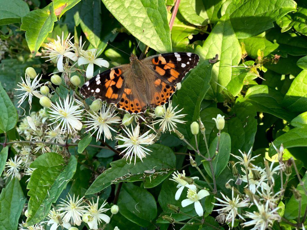Klematis Summersnow  - klatrer med tusenvis av blomster - insektene liker den godt -min