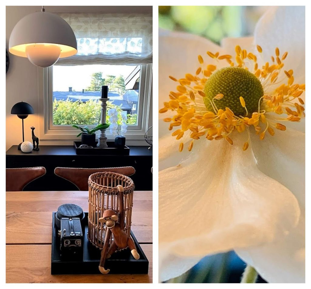 Velkommen fra hage til stue, Anemone - kollasj av nærbilde av blomsten og deler av spisestuen