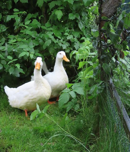 Gjess og høner ønsker deg velkommen inn i Gjestehagen