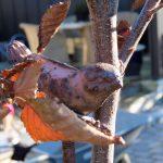 Plantestøtte og oppbinding . Godt jeg rakk å binde opp Agnbøken før vinteren IMG_3488 (2)-min