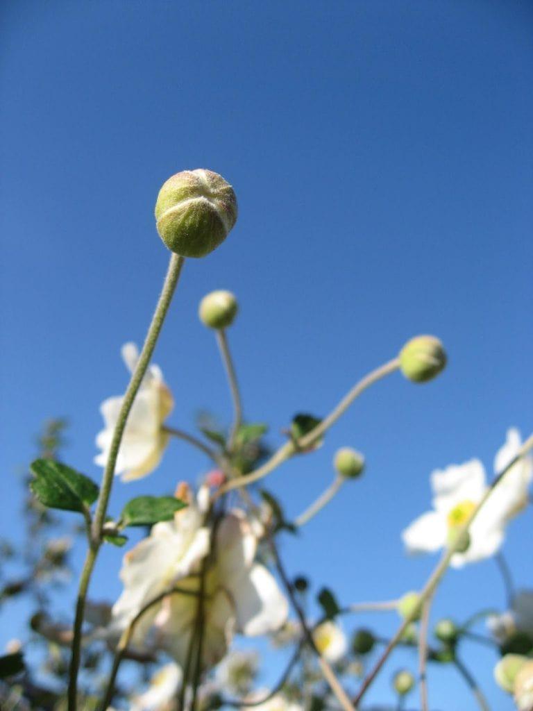 Hvit Høstanemone i knopp.