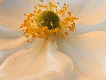 Vil du vite mer om Høstanemone - Hvit blomst med gule støvbærere