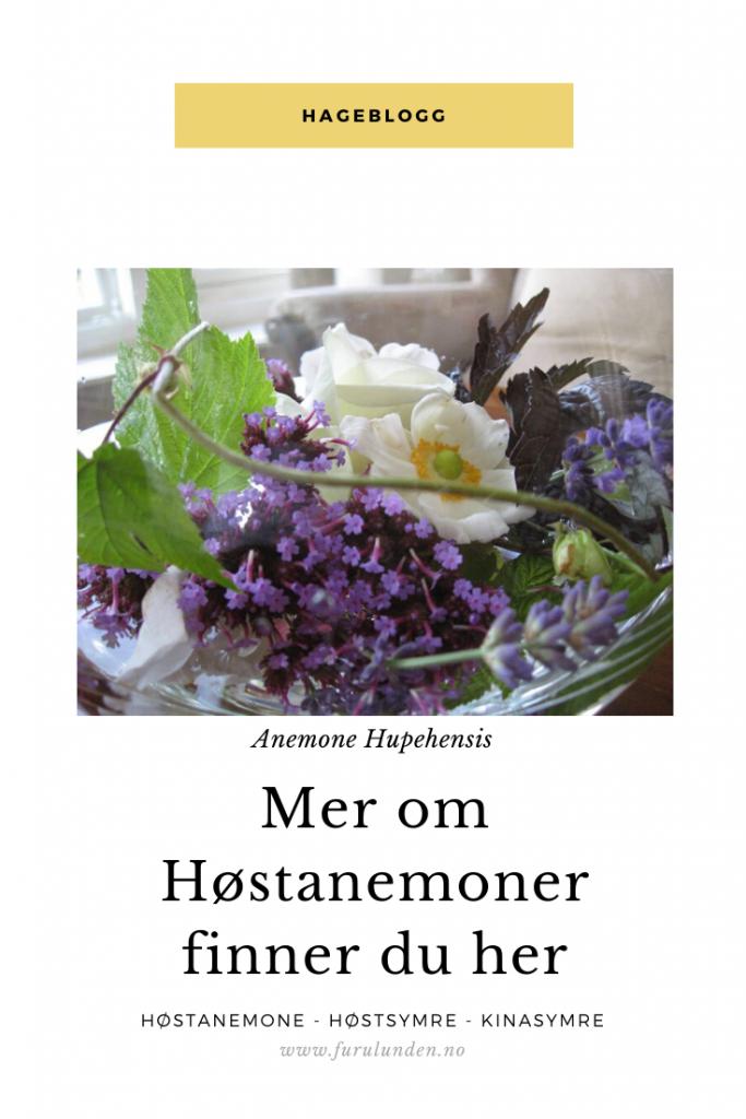 Vil du vite mer om Høstanemone - Bildet kan legres på Pinterest (2)