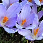 Er du klar for en ny vår i hagen din - Vakre lilla krokus