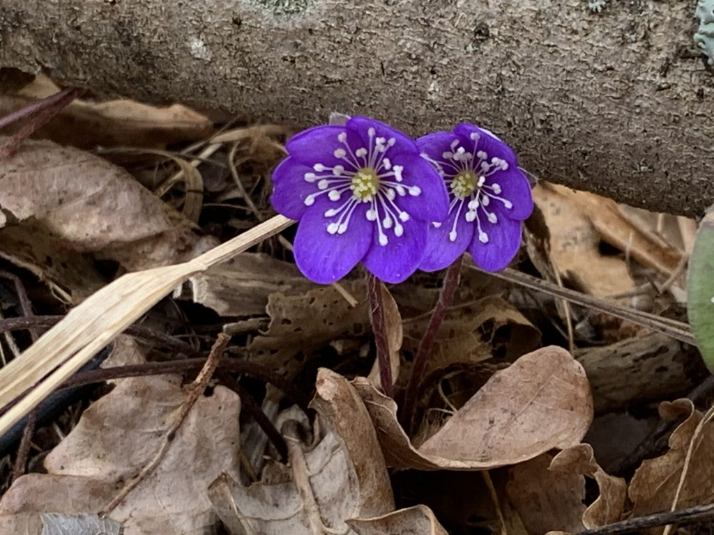 Blåveis - en kjærkommen vårblomst