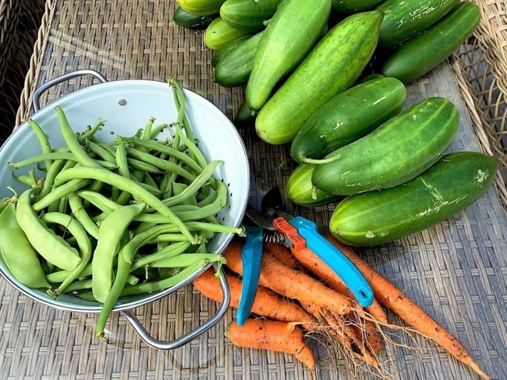 Dyrk grønnsaker økologisk - kortreist og sunt - bønner, gulrøtter, sukkerert, agurk