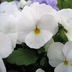 Hvit stemorsblomst i krukke
