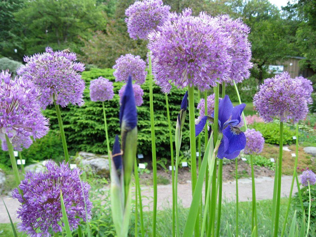 Iris og Allium i spennende sameksistens i Gøteborgs botaniske hage