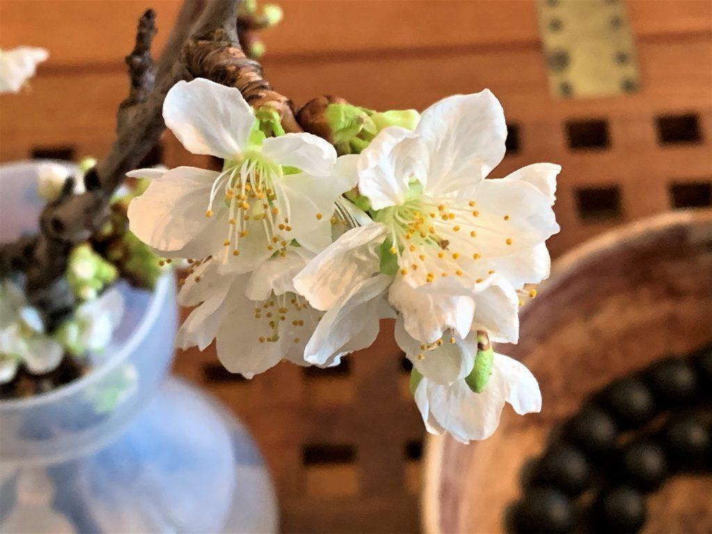 Morellkvister i vakker, utsprunget blomst