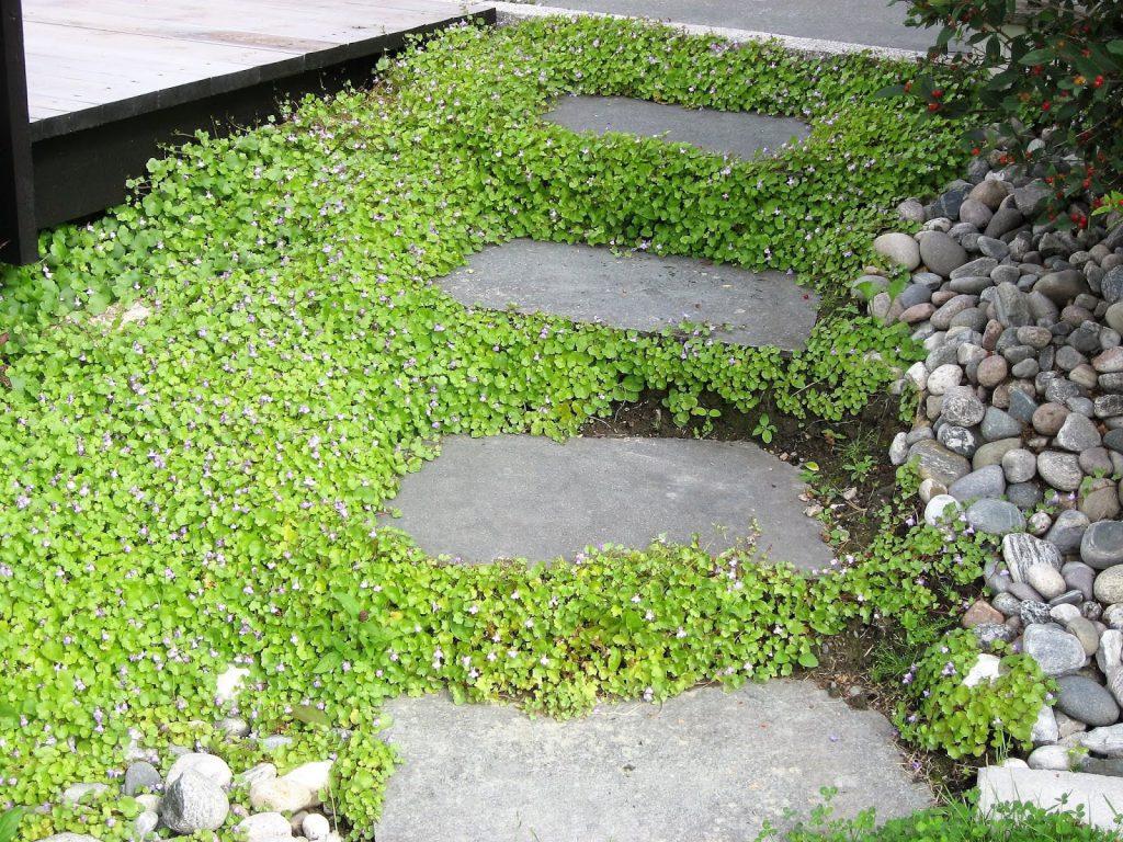 Tips til bunndekkere i hagen - Murtorskemunn som sprer seg veldig