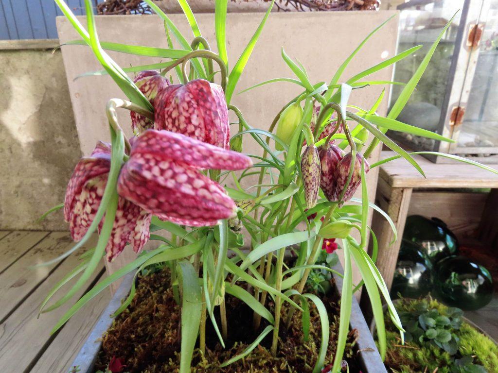 Rutelilje - en detalj i et vårlig arrangement på terrassen