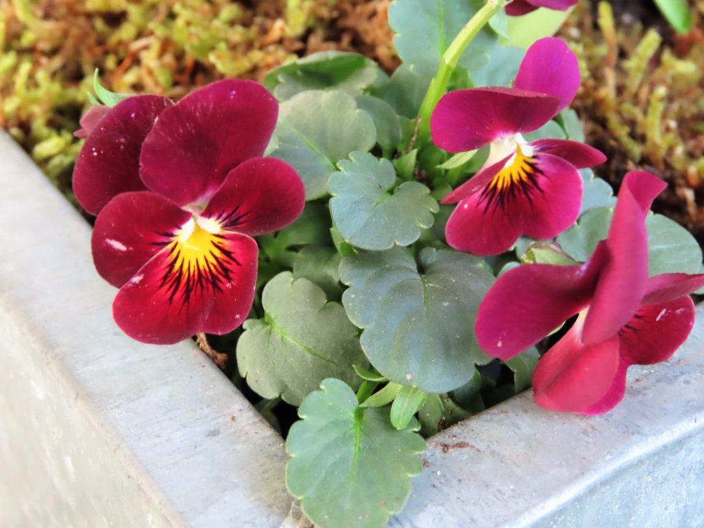 Stemorsblomster passer fint til å plante krukker på våren