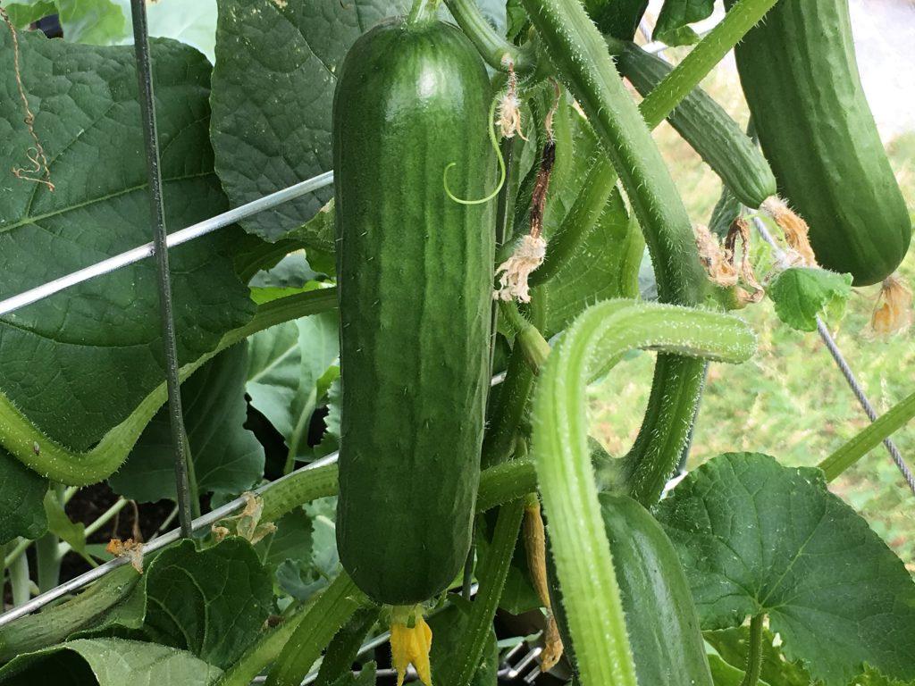 Tips til å dyrke økologisk - kortreist og sunt - Agurker i drivhuset