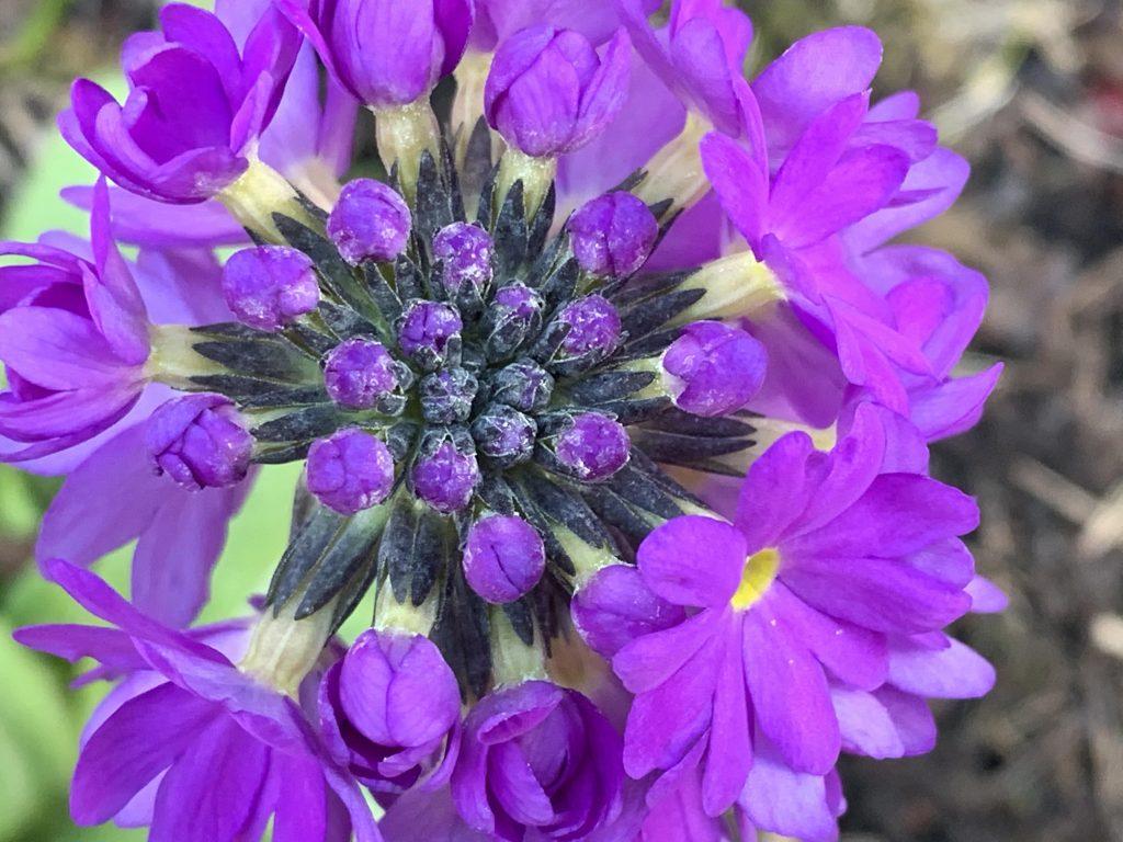 Nærbilde av en lilla kuleprimula