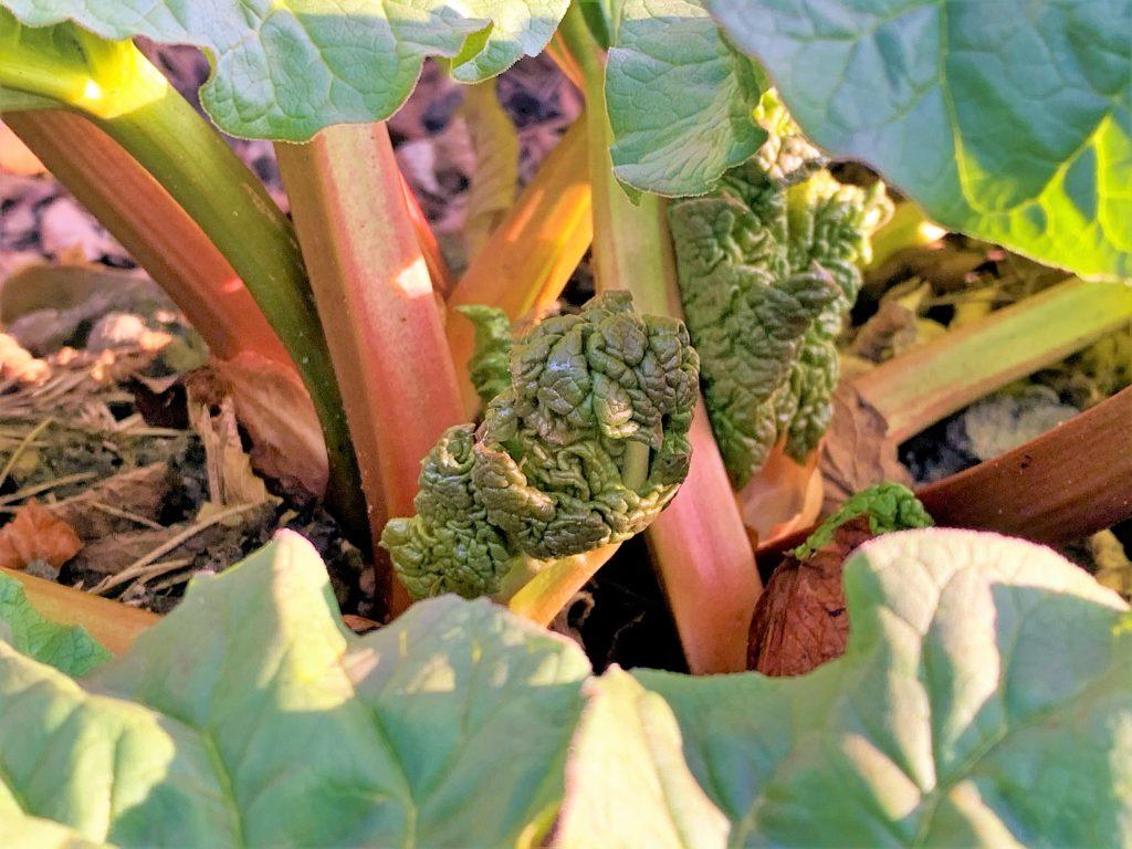 Rabarbraen vokser så det knaker i hagen