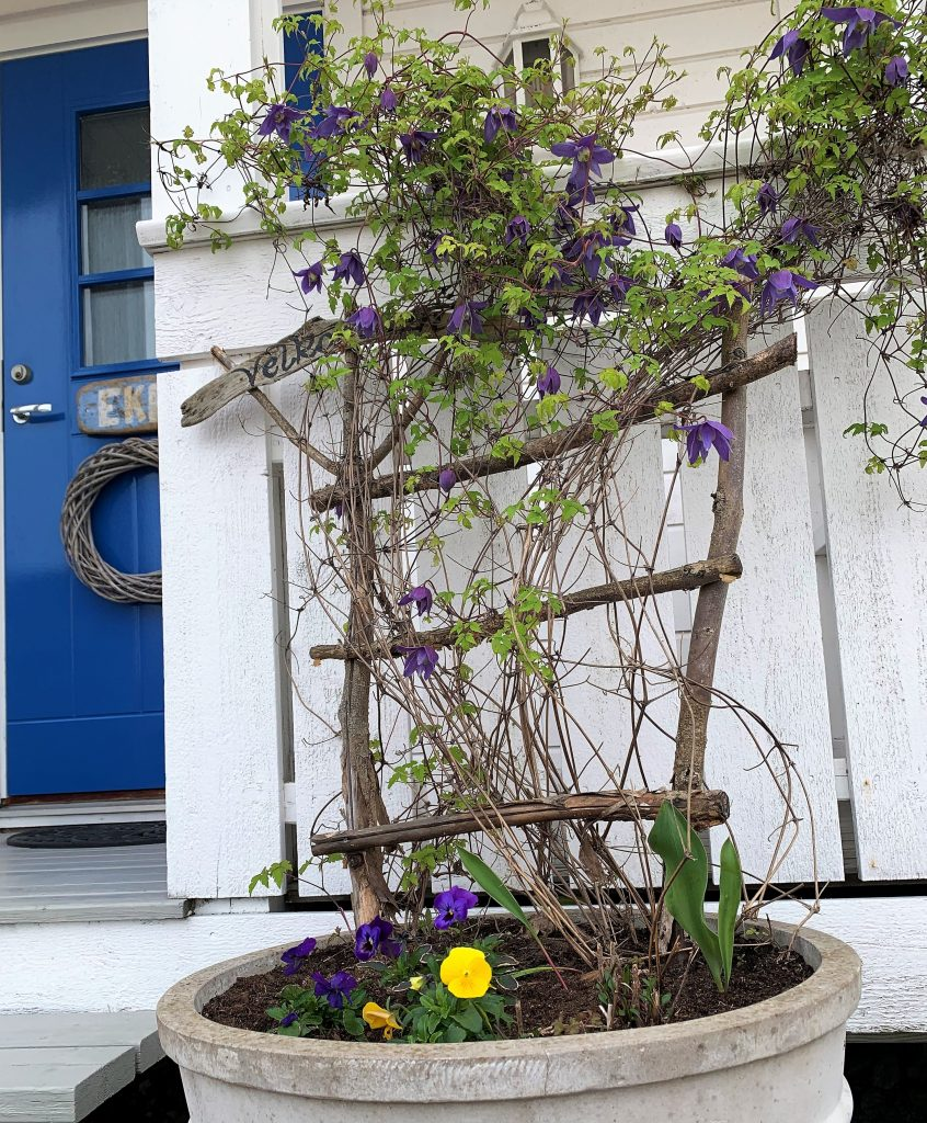 En hage med fjellknauser - Familien ønsker velkommen med alpeklematis og stemorsblomster