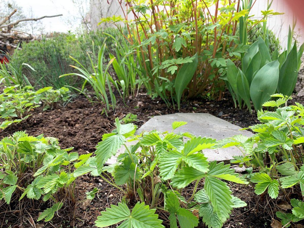 En hage med fjellknauser - Markjordbære og andre vekester i et bed