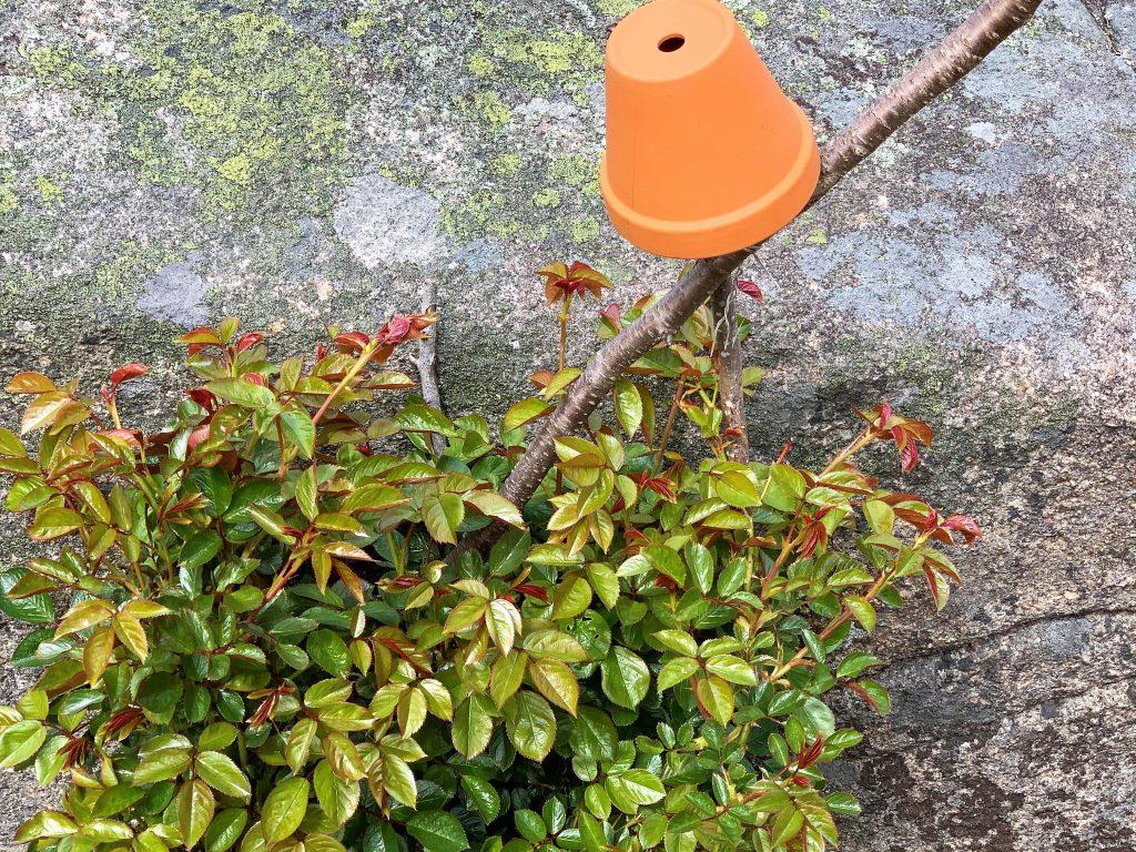 En hage med fjellknauser - en rosebusk med en terracottapotte snuddd på hode