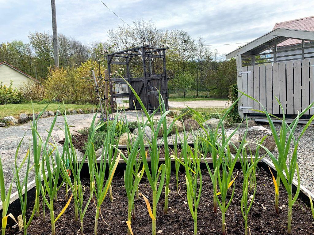 En hage med fjellknauser - hvitløken er i full vekst