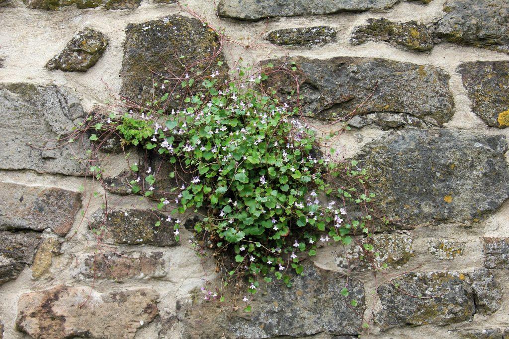 Foto - Pixabay - Murtorskemunn som klatrer i mursprekker