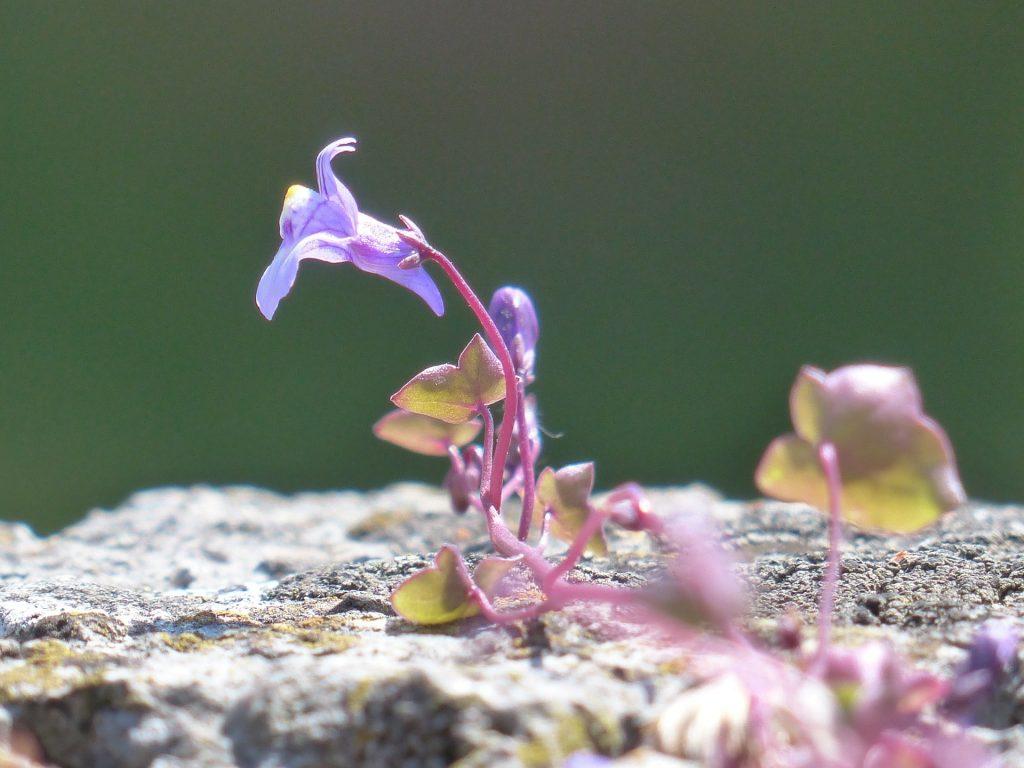 Foto - Pixabay - Nærbilde av blomst på Murtorskemunn