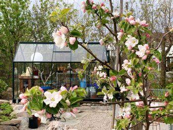 En hage med fjellknauser – en sniktitt inn i våren - drivhuset i perspektiv fra epletreet