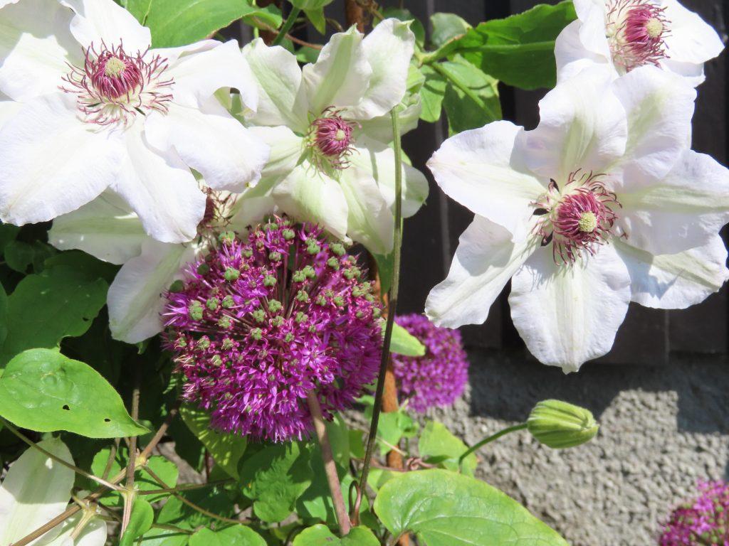 Allium i sameksistens med Klematis