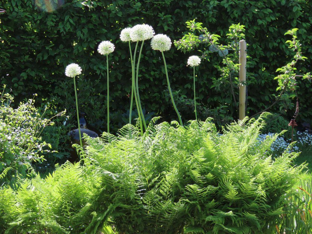 Hvit Allium samme med bregner - vakkert skue