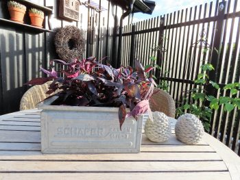 Ipomoea batatas - mørkt bladverk som jeg ikke kan motstå