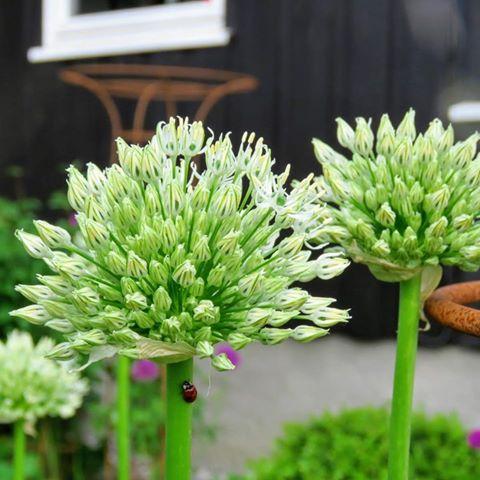 Prydløken Allium - hagens eget fyrverkeri - Her har den besøk av marihøne