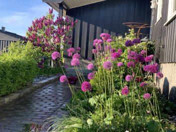 Prydløken Allium - hagens eget fyrverkeri - Lilla Allium i kø
