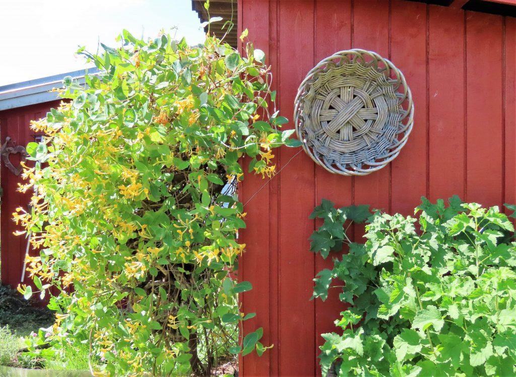 Kaprifolium i hagen - Vaterland